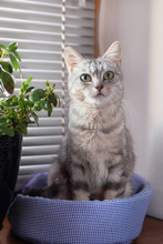 Adorable Fluffy Gray Tabby Cat With Green Eyes Is Sitting On A Cat Bed Near To A Window And Pot Plant And Looking To The Camera.
