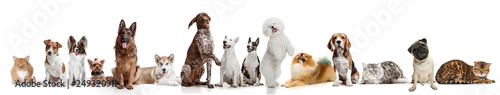 Differents dogs and cats looking at camera isolated on a white studio background