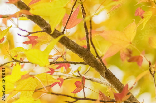 Fototapety, obrazy: Beautiful Maple' leaves with colorful red, orange, yellow and green color on branches in nature at Doi Pha Tang (Phatang), Chiang Rai, northern of Thailand.