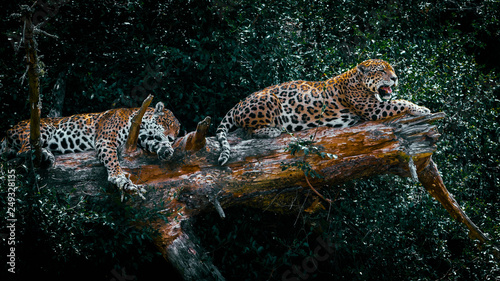 Photo sur Aluminium Leopard Big cats resting