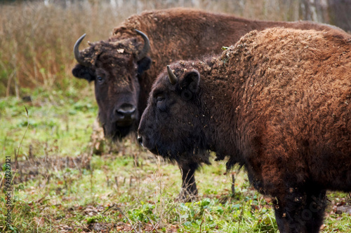 Fotografie, Obraz two aurochs in the forest