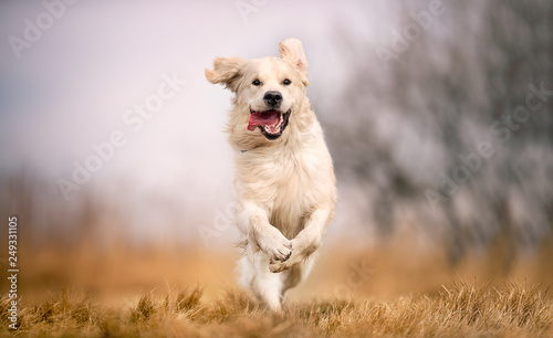 Fototapeta dog running in field