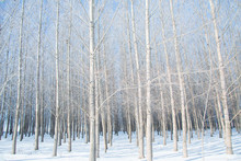 Photograph Of A Grove Of White Poplar Trees In A The Winter Snow