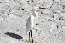 White Ibis Walking On A Beach Of Sand