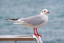 A Beautiful White Seagull