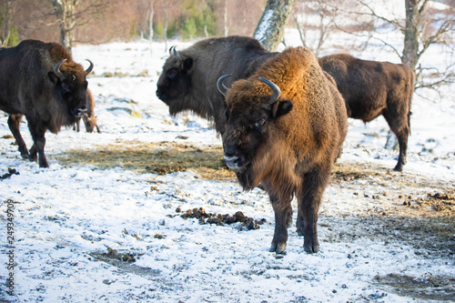 Vászonkép Buffalo standing on snow covered ground