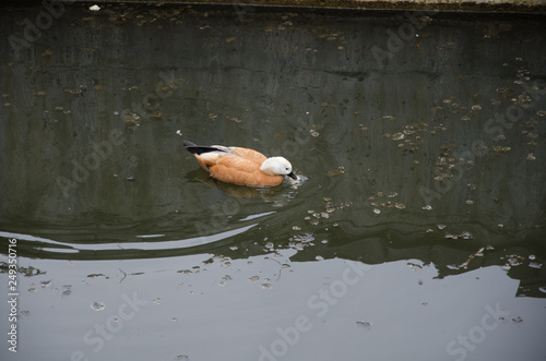 Fotografie, Obraz  brown waterfowl duck