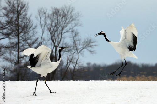Two red-crowned cranes, Kus...