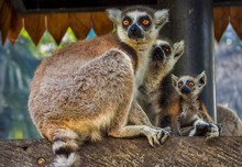 Three Ring-tailed Lemurs, Indo...