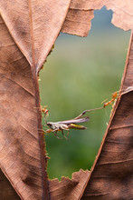 Ants Carrying A Dead Grasshopper, Indonesia