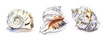 Set Of Three Illustration Of Seashell Of Cephalopod Mollusk Rapana. Hand Drawn Watercolor Sketch