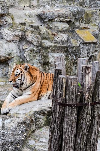 Fotografie, Obraz  feline, nature, striped, wildlife, bengal, asia, black, big, carnivore, face, ti