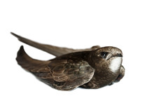 Close-up Portrait Of Lying Common Swift On White Background. Injured Adult Swift (Apus Apus) Isolated On White.