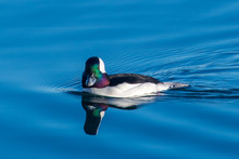 Bufflehead Duck Swimming, British Columbia, Canada