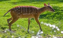 Sitatunga Antelope. Latin Name - Tragelaphus Spekei