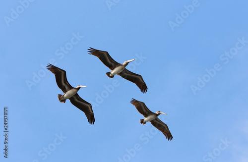 Fotografie, Obraz  Brown Pelican Flying Formation, Blue Sky Background. Costa Rica