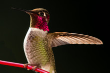 Close-up Of A Hummingbird On A Plant, British Columbia, Canada