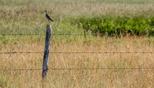 Greater Roadrunner On A Fence, British Columbia, Canada