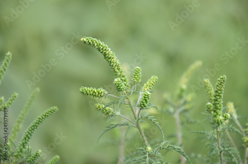 Young branch ambrosia blooming in the field Canvas Print