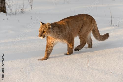 99762a8f3027d Adult Female Cougar (Puma concolor) Walks Left Through Snow Winter ...