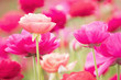 Leinwandbild Motiv Photograph of a field of bright pink and coral colored Ranunculus flowers