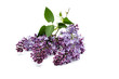 purple blooming lilac on branch isolated on white background