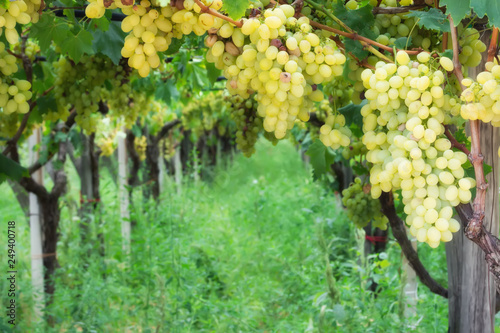 Fotografie, Obraz  Noble rot of a wine grape, botrytised grapes in sunshine