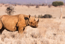 Black Rhino Profile Against Gr...