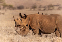 Pair Of Black Rhinos Side Profile With Oxpeckers.