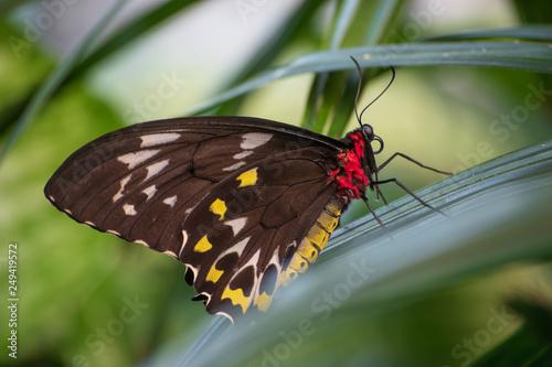 birdwing butterfly in foliage
