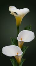 Cala Flowers