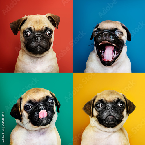 Portrait set of an adorable pug puppy Wallpaper Mural