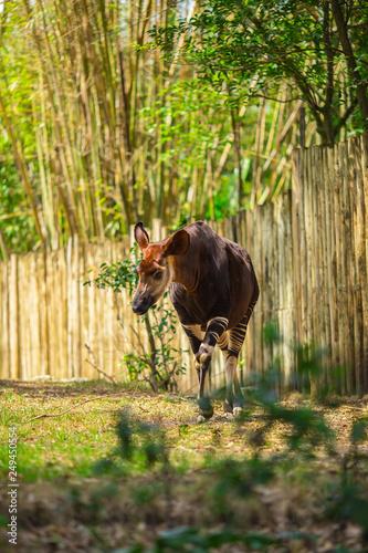 Photo Okapi walking in Forest Park