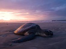 Dead Sea Turtle On Kute Bach, Bali, Indonesia