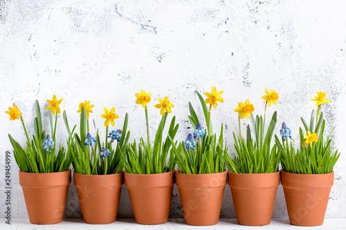 kwiat żonkila i trawa w doniczce