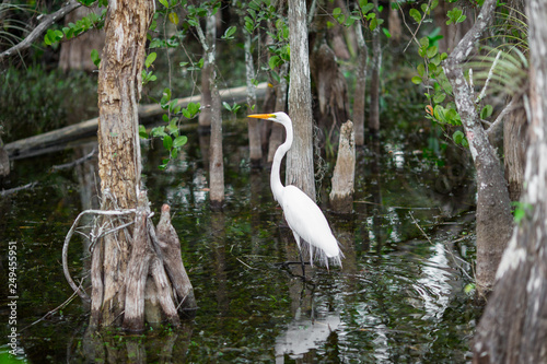 Photo Cattle egrets on a swamp. Everglades National Park. Florida. USA