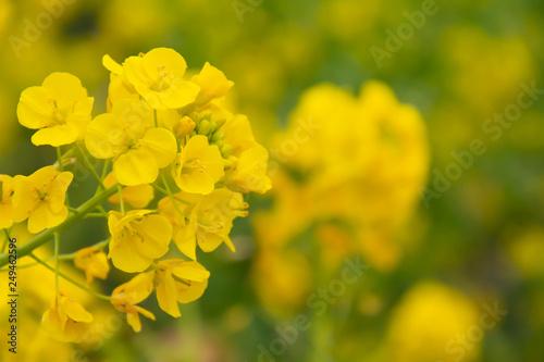 Obraz na plátně  満開の菜の花畑の黄色い菜の花