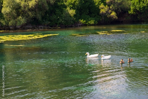 Fotografie, Obraz  two white and two motley ducks swim on a pond or on the lake in sunny day
