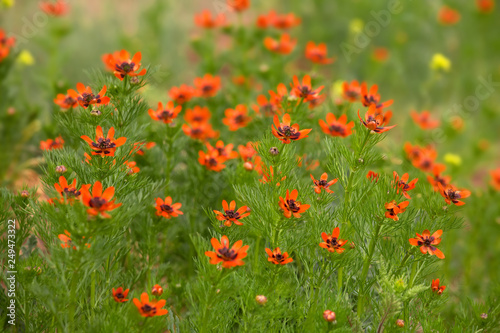 Red flowers in the meadow, summertime natural background, selective focus