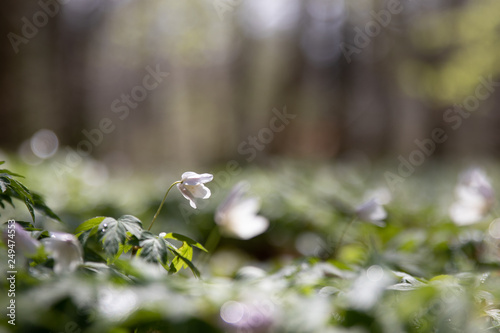 Anemone nemorosa in a Pålsjö forest in Helsingborg, Sweden early morning with dew and water on the flowers Wallpaper Mural