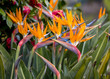 canvas print picture - Tropical flower strelitzia or bird of paradise on Madeira Island,  Portugal.