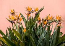 Tropical Flower Strelitzia Or ...