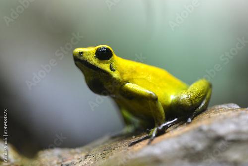 Photo  Golden poison dart frog (Phyllobates terribilis) in rainforest