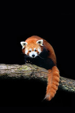 Red Panda (Ailurus Fulgens) Isolated On Black Background. Endangered Animal Living In The Eastern Himalayas And Southwestern China.