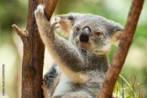 Canvas Prints Koala Cute Australian Koala resting during the day.