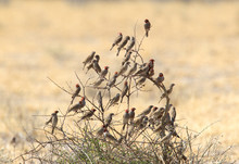 Swarm Of Red Headed Finches In...