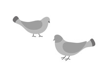 Pigeon Birds, Animals Eating And Walking On Ground Vector. Flock Of Doves With Feathers Wings , Grey Plume, Plumage Of Small Bullfinches In Motion