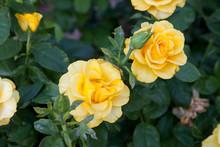 Beautiful Yellow Rose Bush Growing In The Garden.