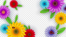 Colorful Gerbera Flowers Decorated On Transparent Background For Hello Spring Poster Design.