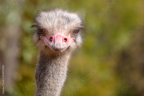 Fotografering Portrait of an ostrich in the park